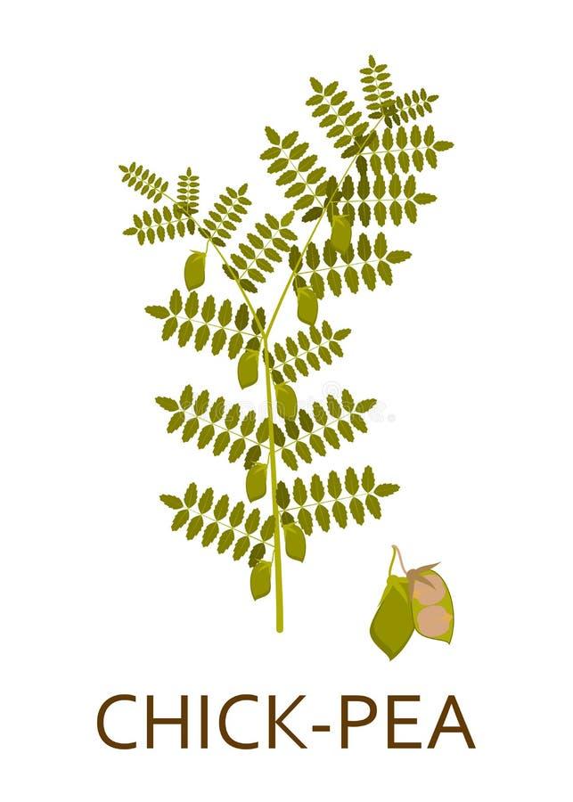 Planta de ervilha do pintainho com folhas e vagens ilustração stock