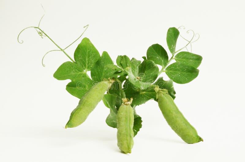 Planta de ervilha no branco foto de stock royalty free