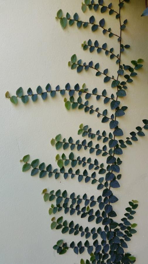 planta de escalada em uma parede imagens de stock
