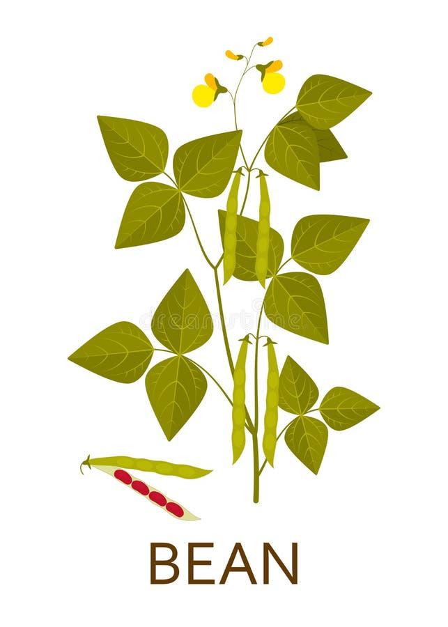 Planta de feijão com folhas, vagens e flores ilustração do vetor