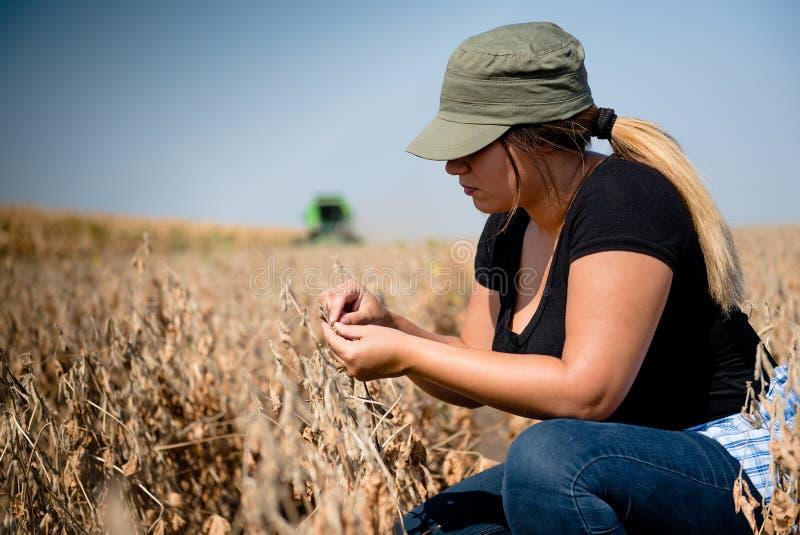 Planta de feijão de soja examing da menina nova do fazendeiro durante a colheita foto de stock