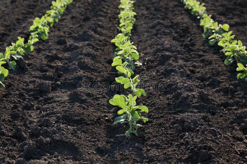 Planta de feijão de soja no campo na mola fotos de stock royalty free