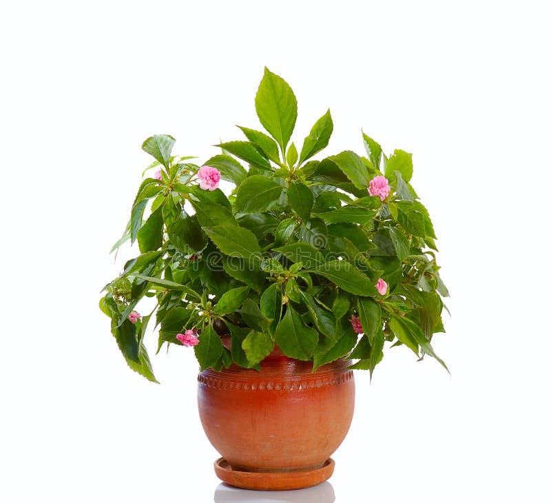 Planta de florescência imagens de stock royalty free