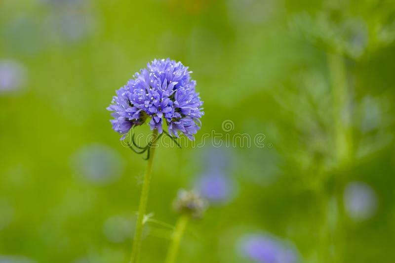 Planta de florescência bonita azul do capitata de Gilia, azul-dedal-flores na flor, wildflower de surpresa foto de stock