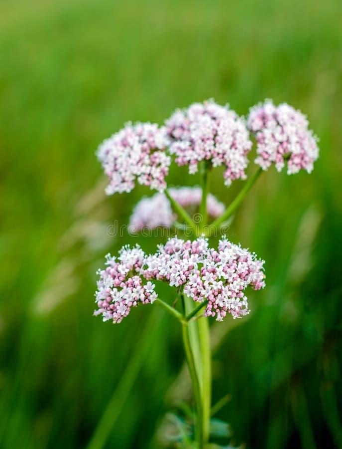 Planta de florescência cor-de-rosa macia da valeriana do fim imagens de stock