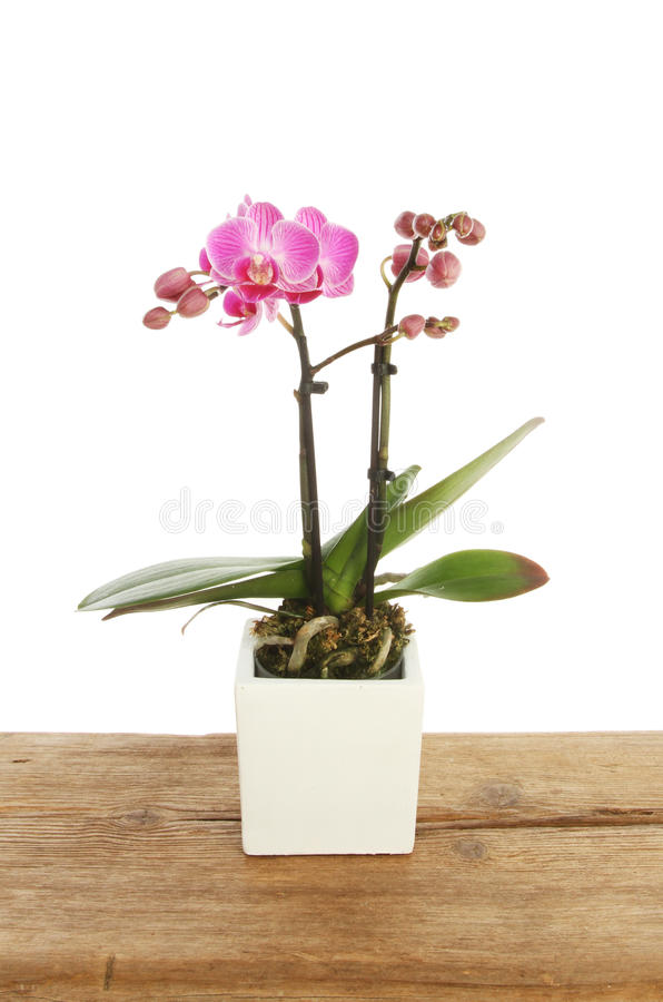 Planta de florescência da orquídea imagens de stock