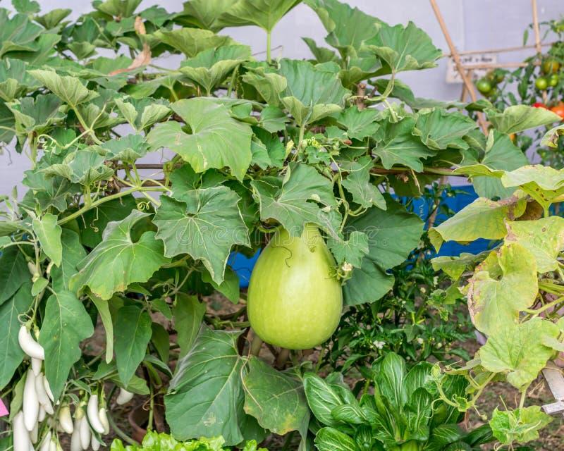 Planta de florescência das cucurbitáceas dos frutos das cabaças Pertence à família como o Cucurbita e ao Lagenaria como abóboras, imagens de stock