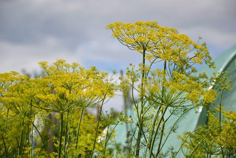 Planta de florescência das ervas do aneto no jardim (graveolens do Anethum) Feche acima das flores de erva-doce imagem de stock royalty free