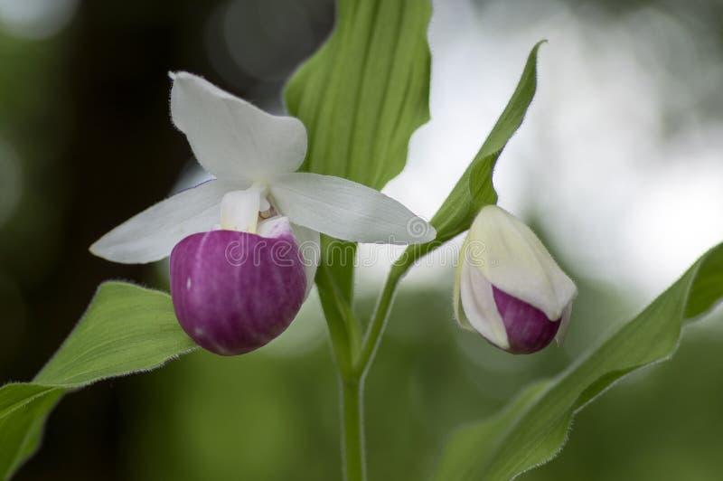 Planta de florescência decorativa da flor da orquídea do jardim maravilhoso dos reginae do Cypripedium, a cor-de-rosa e a branca fotos de stock royalty free