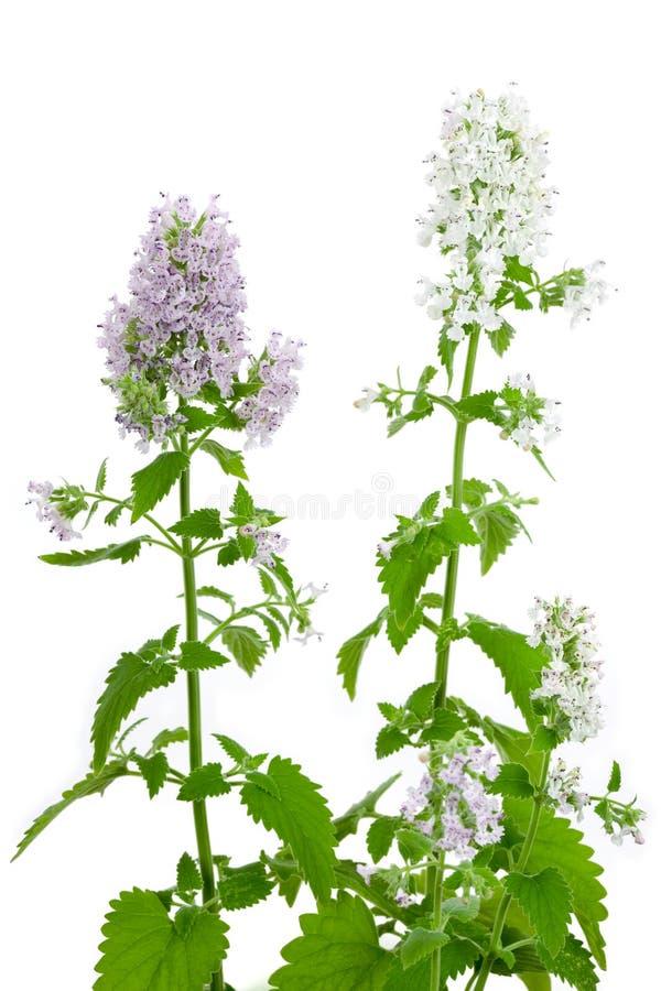 Planta de florescência do Catnip, cataria do Nepeta imagem de stock