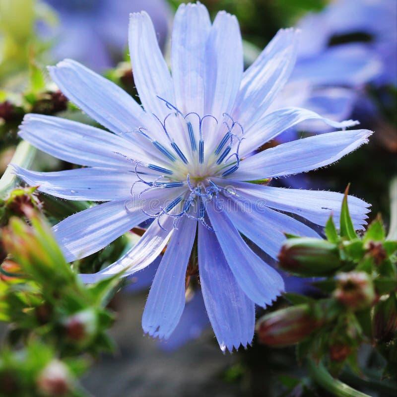 Planta de florescência do Cichorium, endívia selvagem, pumilum do Cichorium, flor da chicória comum foto de stock