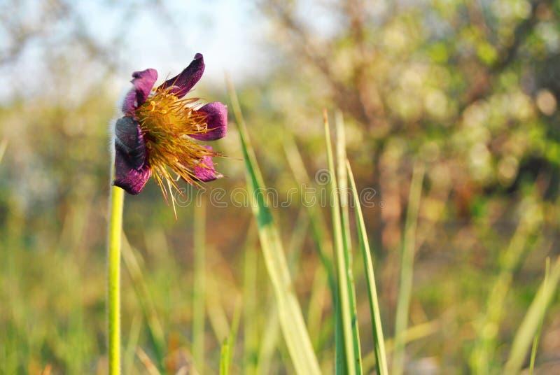 Planta de florescência do pasqueflower oriental dos patens do Pulsatilla, do açafrão da pradaria, das pétalas roxas da anêmona do imagem de stock