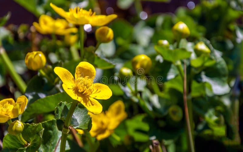 Planta de florescência e de brotamento amarela de Kingcup do fim foto de stock