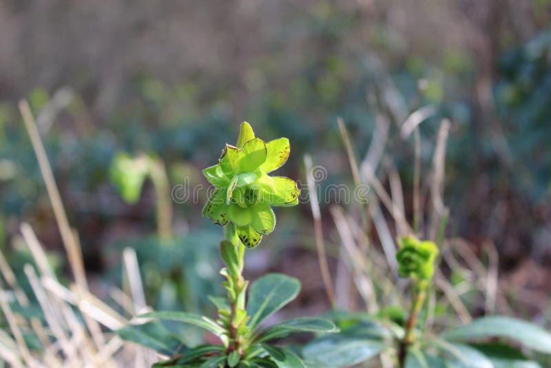 Planta de florescência pequena imagem de stock