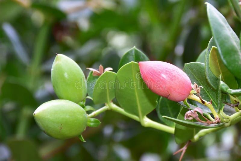 Planta de florescência perfumada de Plumerira imagens de stock