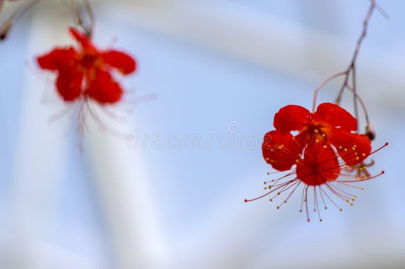 Planta de florescência vermelha tropical do grandidieri do hibiscus, flores bonitas na flor, igualmente chamada hibiscus da lante imagens de stock