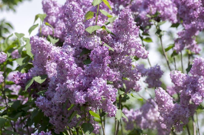 Planta de florescência vulgar no oleaceae da família verde-oliva, arbusto decíduo do Syringa com grupo de luz - flores roxas viol imagens de stock