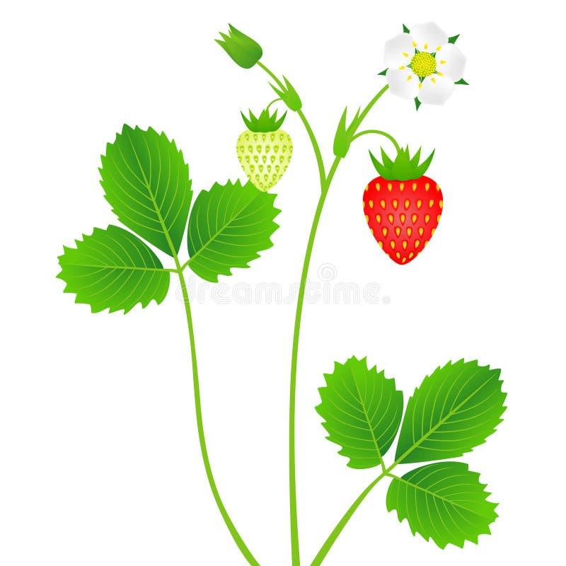 Planta de fresa con las hojas, bayas y flor, aisladas en el fondo blanco ilustración del vector