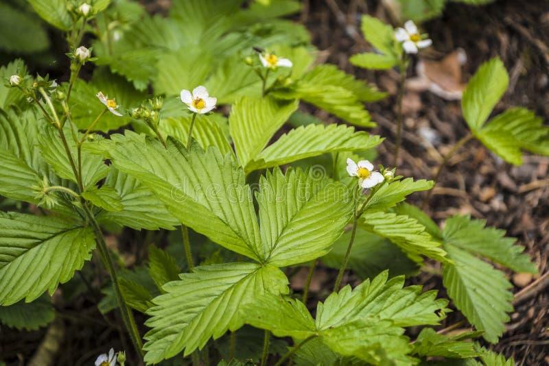 Planta de fresa Floraci?n de la fresa Arbustos stawberry salvajes fotos de archivo