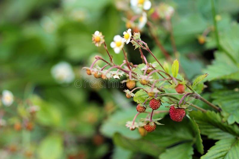 Planta de fresa floreciente salvaje con las hojas del verde y las bayas maduras fotos de archivo libres de regalías