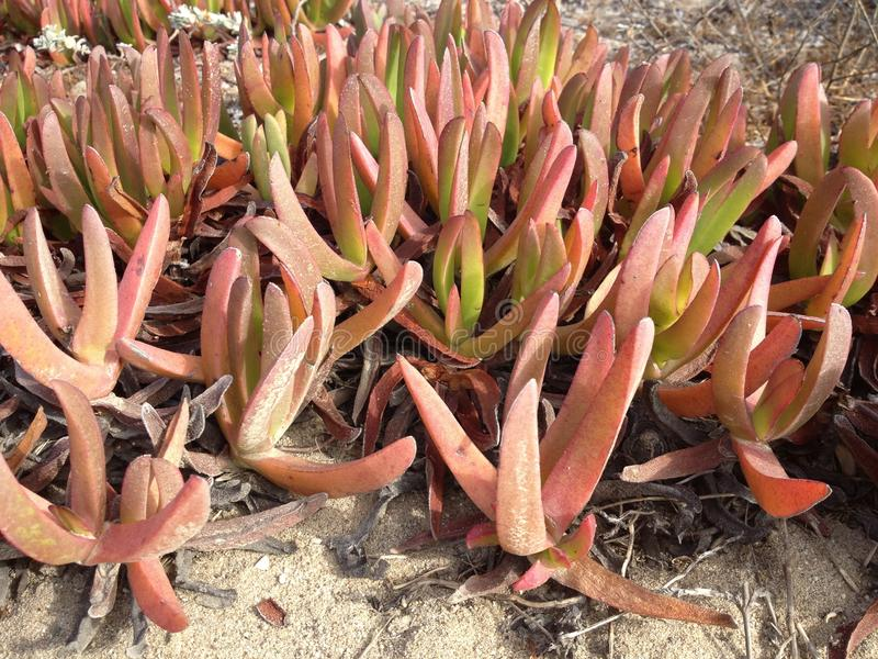 Planta de gelo cor-de-rosa (cooperi de Delosperma) imagens de stock royalty free