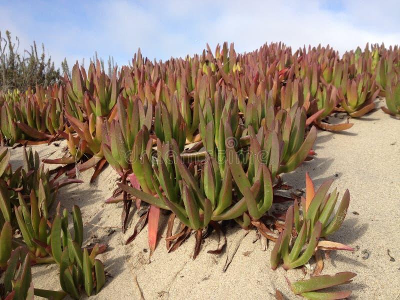 Planta de gelo do tanoeiro (cooperi de Delosperma) foto de stock royalty free