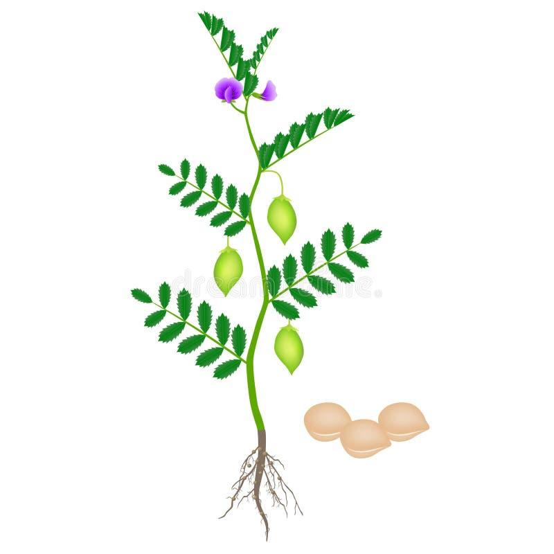 Planta de grão-de-bico com as raizes isoladas no fundo branco ilustração royalty free