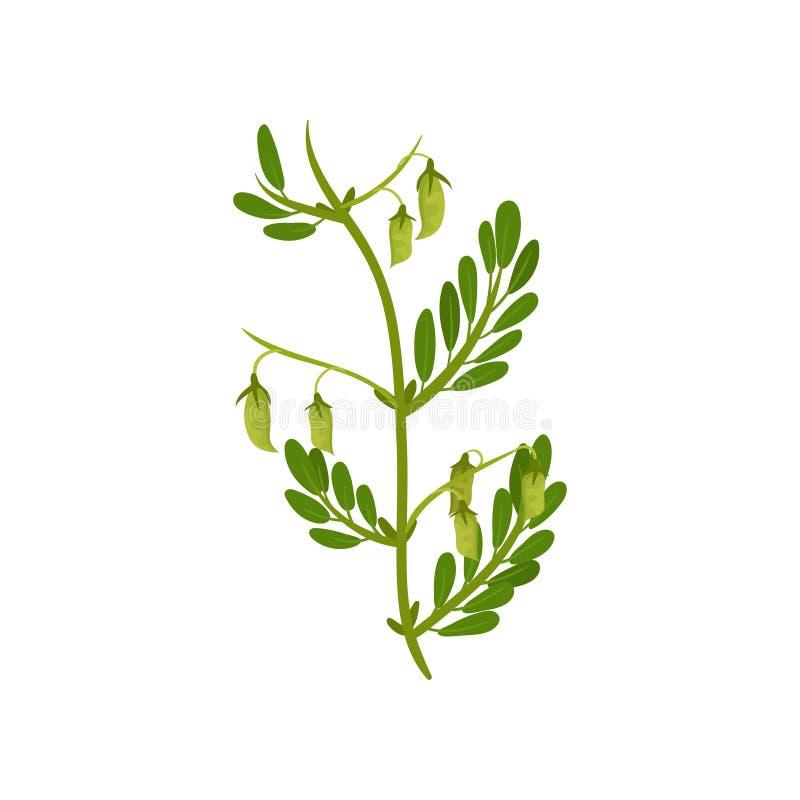Planta de grão-de-bico de florescência com folhas verdes Cultura leguminosa Colheita agrícola Projeto liso do vetor ilustração royalty free