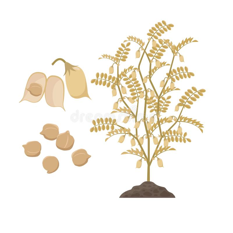 Planta de grão-de-bico madura com as sementes abertas das vagens e de ervilhas do pintainho isoladas na ilustração branca do veto ilustração stock