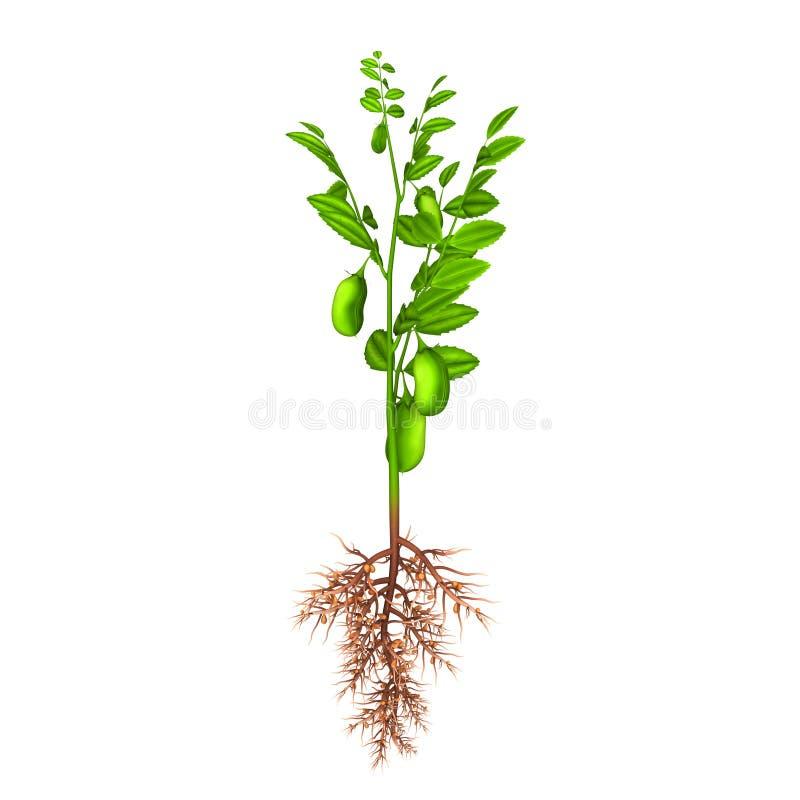 Planta de grão-de-bico ilustração do vetor