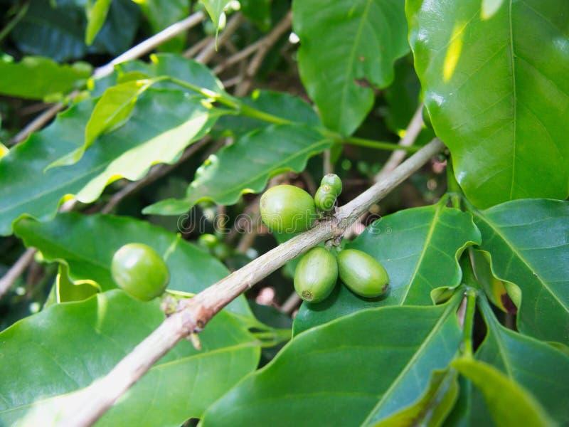 Planta de granos de café verde natural en la granja imagen de archivo
