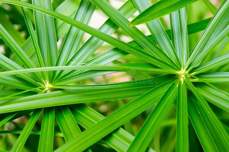 Planta de guarda-chuva, Cyperaceae, papiro fotografia de stock royalty free