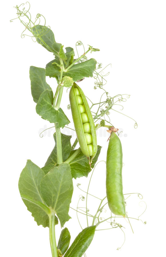 Planta de guisantes con las plantas de los vehículos de hojas imagenes de archivo