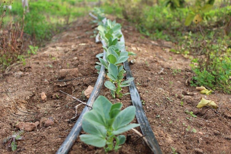 Planta de habas de Lima con la irrigación por goteo imagen de archivo