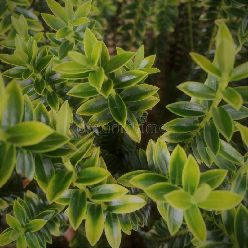 Planta de Hebe en jardín fotografía de archivo libre de regalías