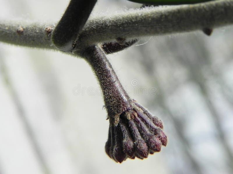 A planta de Hoya floresceu suas flores Plantas bonitas e flores brilhantes Detalhes e close-up fotos de stock royalty free