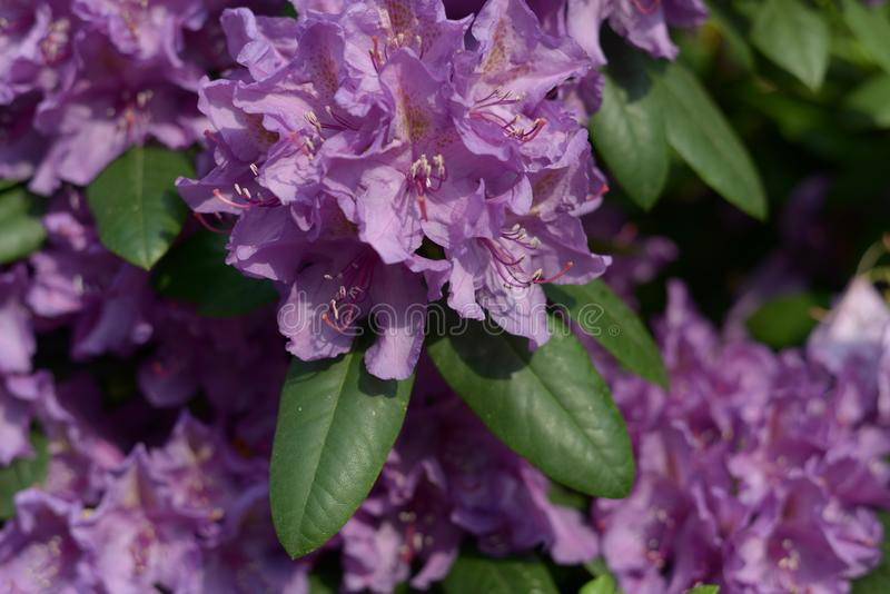 Planta de jardín que florece en detalle magenta foto de archivo libre de regalías