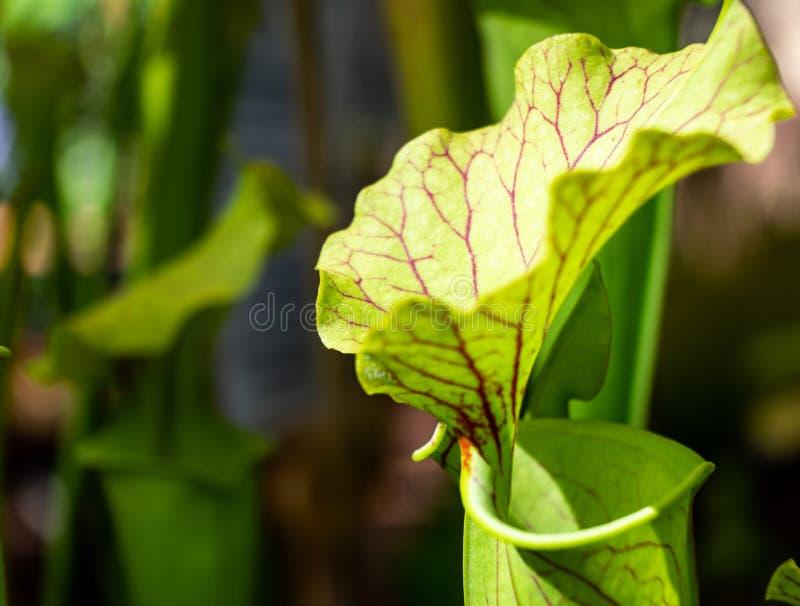 Planta de jarra joven, Nepenthes científico del nombre, con las venas rojo oscuro de la hoja, fotografiadas como macro en la gama imagen de archivo