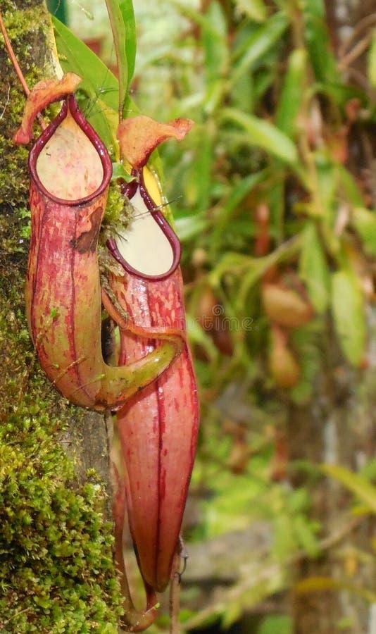 Planta de jarra tropical fotos de archivo