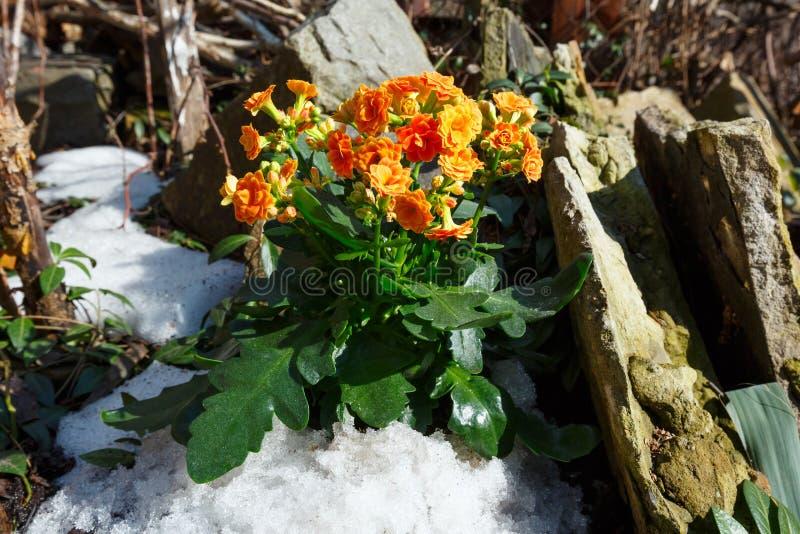 Planta de Kalanchoe com as flores alaranjadas no prado rochoso da mola imagem de stock