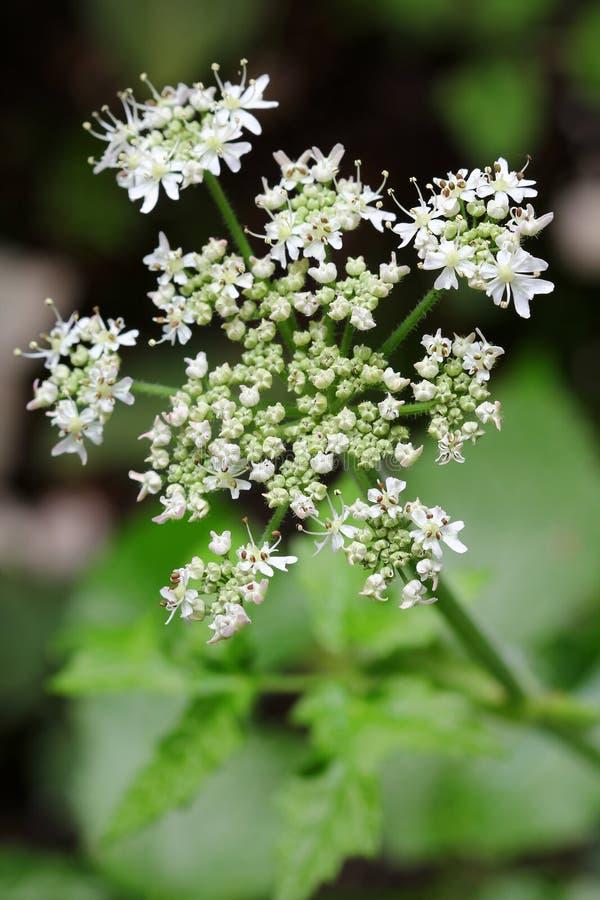 Planta de la alcaravea con las flores blancas fotos de archivo libres de regalías