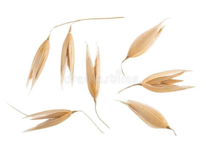 Planta de la avena aislada en blanco sin la sombra foto de archivo libre de regalías