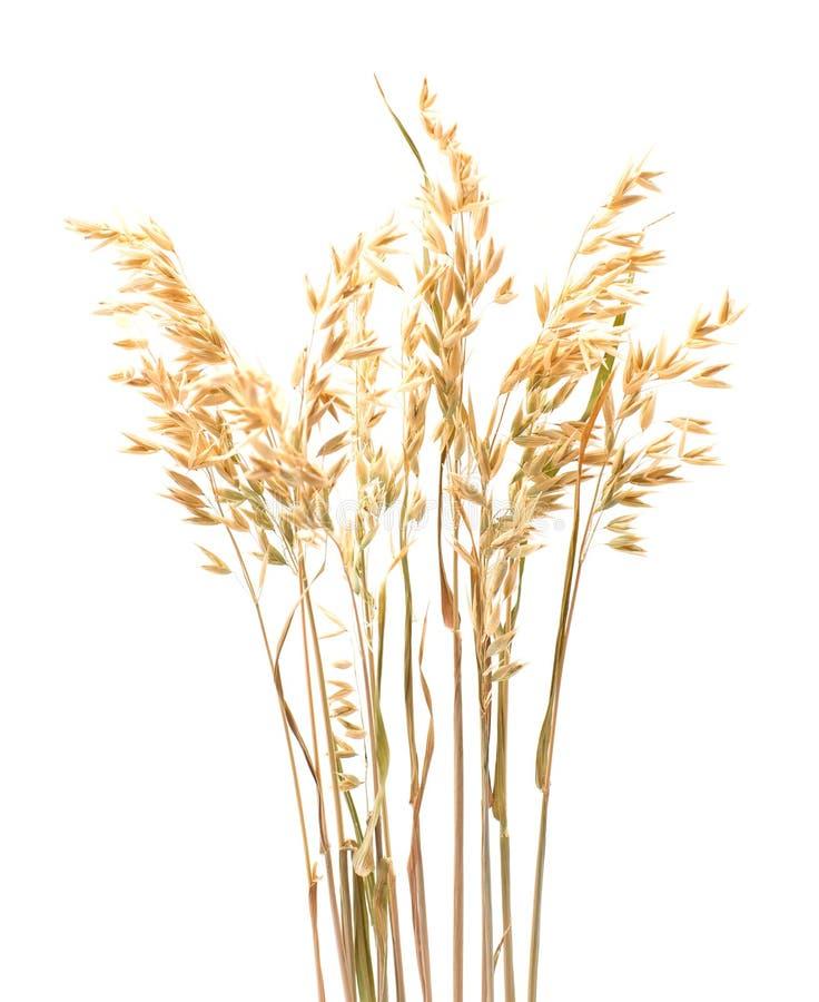 Planta de la avena aislada en cierre del blanco para arriba foto de archivo