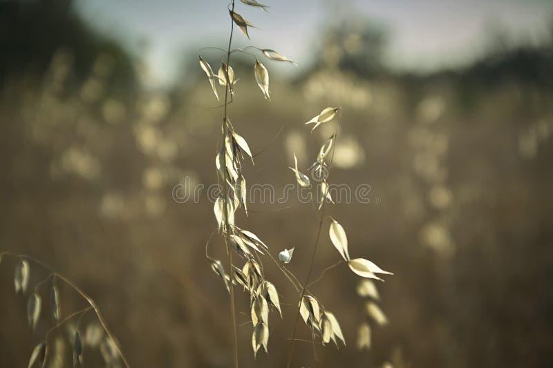 Planta de la avena en un campo conducido por el viento fotografía de archivo libre de regalías