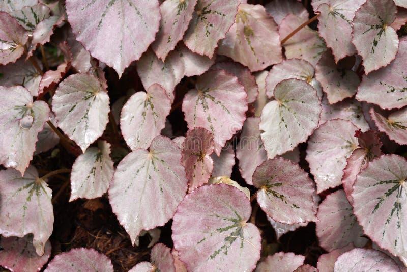 Planta de la begonia imagen de archivo libre de regalías