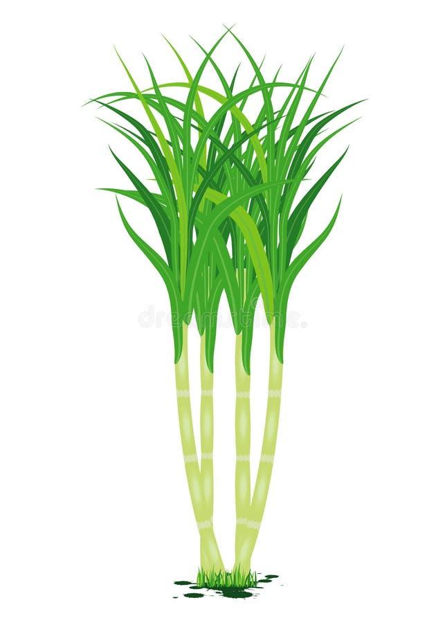 Planta de la caña de azúcar en el fondo blanco libre illustration