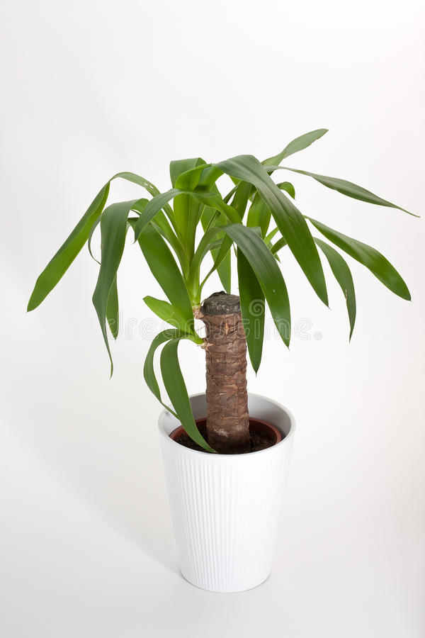 Planta de la casa de la yuca fotos de archivo imagen for Yuca planta de exterior