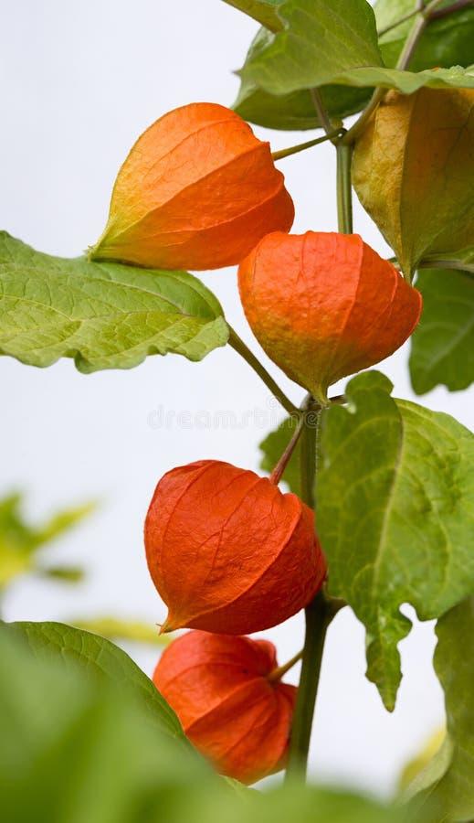 Planta de la cereza de vejiga con los flores anaranjados imagen de archivo