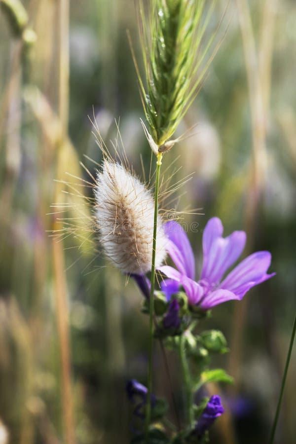 Planta de la cola de la liebre con la flor de la alta malva imagen de archivo libre de regalías