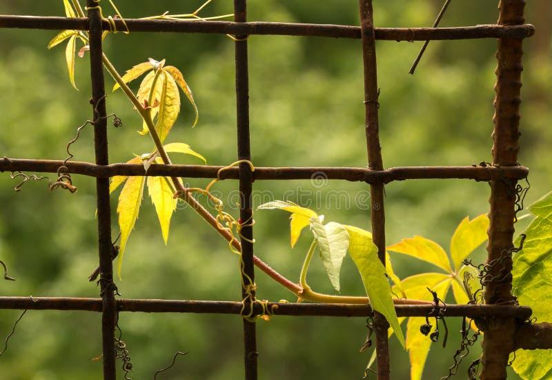 Planta de la enredadera que crece en la cerca de la red del hierro fotos de archivo libres de regalías